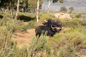 Big5 Cape Buffalo