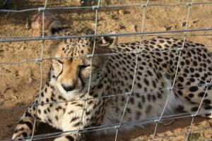 Big5 leopard
