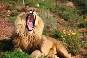 big5 lion